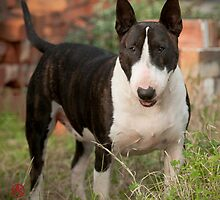 ENGLISH BULL TERRIER by James Vereker