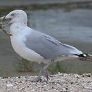 Gull with catch by astrochuck