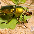 Golden Stag Beetle by Keith Smith