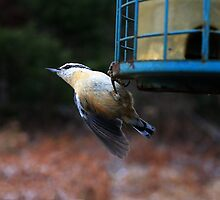 Nuthatch by Nazareth