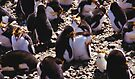 Royal Penguins Nesting in the Rookery by Carole-Anne