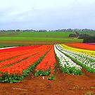 Tulips as far as the eye can see by Elaine Game