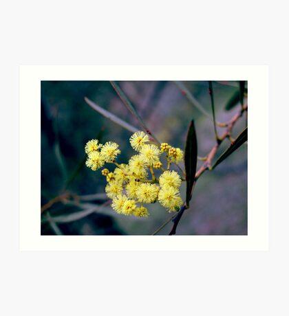 Wattle Blossom Art Print
