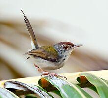 Common Tailor Bird [Orthotmus sutorius] by DonMc