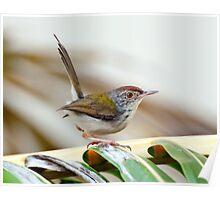 Common Tailor Bird [Orthotmus sutorius] Poster