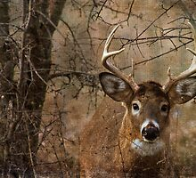 Whitetail Buck by michelsoucy