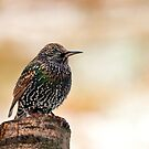 Starling by M.S. Photography/Art