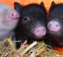 3 Little Micro Pigs by petpiggies
