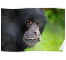 Captive at Twycross zoo Poster