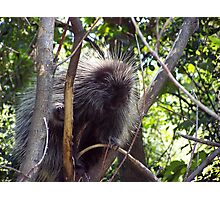 Porcupine in tree  Photographic Print