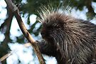 Porcupine in tree by Johnny Furlotte