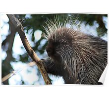 Porcupine in tree Poster