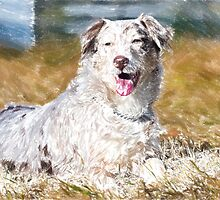 Australian Shepherd 2 by Adam Asar