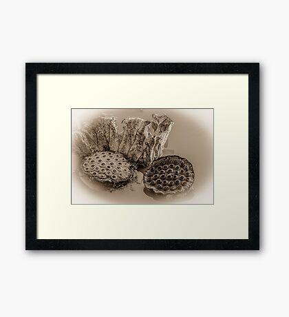 Floating Lotus Seed Pods  Framed Print