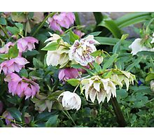 Hellebores Photographic Print