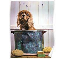 Cavalier King Charles Spaniel Bathtime Poster