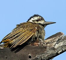 A female bearded woodpecker by jozi1