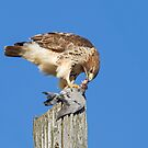 Red-tailed Hawk Eating Pigeon by Bill McMullen