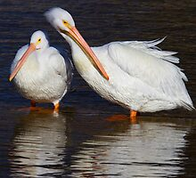 American White Pelicans by John Absher