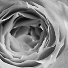 Roses are Black and White by ckphoto
