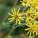 Yellow Flower Burst by Jimmy Deas