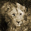 Young Male Lion - Hluhluwe by lallymac