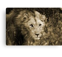 Young Male Lion - Hluhluwe Canvas Print