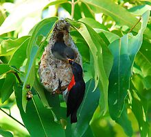 Mistletoe Bird  -  Food is finally delivered  -  View Large by Leslie-Ann