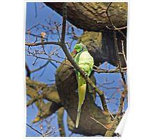 Ring-necked Parakeet Poster