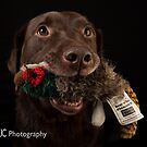 Chocolate Labrador 3 by Mark Cooper