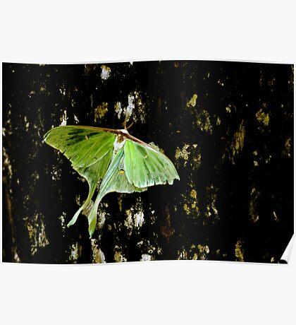 Luna Moth on Tree Poster