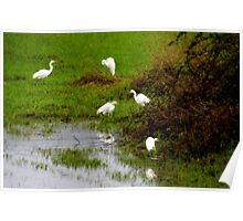 Egrets...Coquille, Oregon Poster