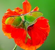 Luna Moth poppy orange square format by Randy & Kay Branham