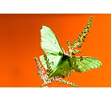 Luna Moth on Astilby Flower Photographic Print