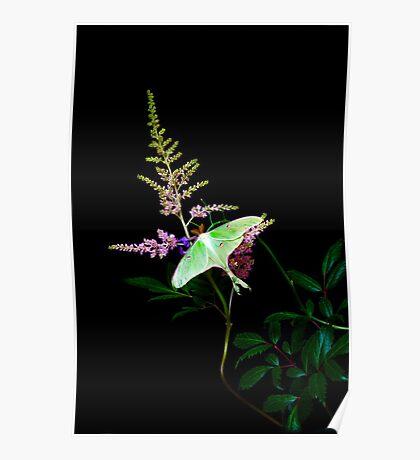 Luna Moth Astilby flower black bg Poster