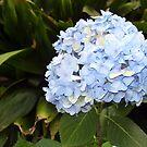 Blue blue Hydrangeas by Anne Guimond