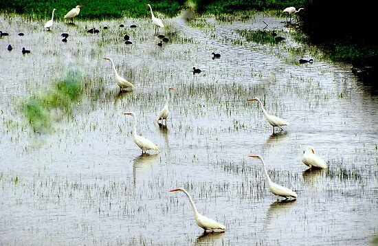 March Of The Egret's... Coquille, Oregon by trueblvr