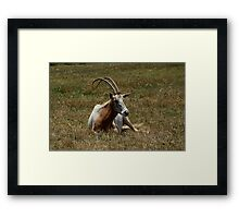 Scimitar Horned Antelope Framed Print