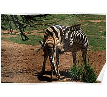 Zebra Mother & Foal Poster