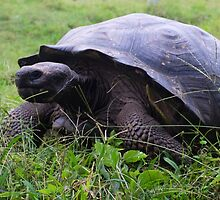 giant tortoise by lgensl1