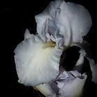 White Iris #4 by Elaine Teague