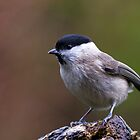 male willow tit by Franc Wiedenhoff