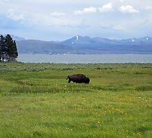 The Bison Wanderer by podspics