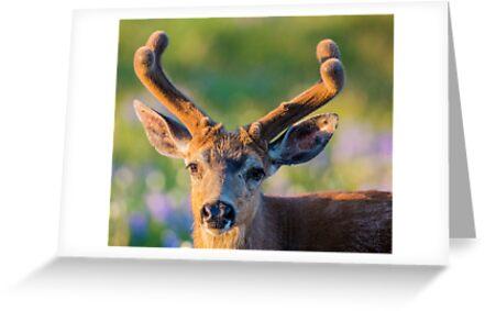 Blacktail Buck by Jim Stiles