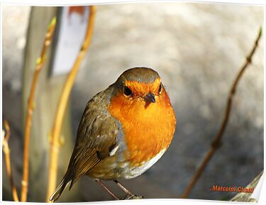 """ Not another Robin"" by Malcolm Chant"