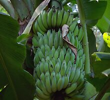 Ladyfinger Banana Bunch by Kerryn Madsen-Pietsch