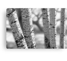 Colorado White Birch Trees in Black and White Metal Print