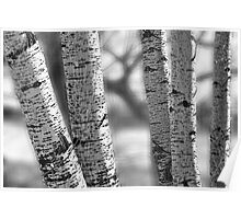 Colorado White Birch Trees in Black and White Poster