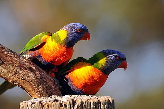 Crimson Rosellas. Cedar Creek, Queensland, Australia. by Ralph de Zilva