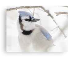 Blue Jay in Winter Metal Print